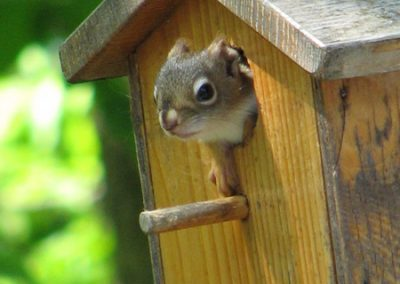 D-Red-Squirrel-Babies2-May-2009-DW