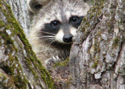 E-Raccoon5-May07-DW