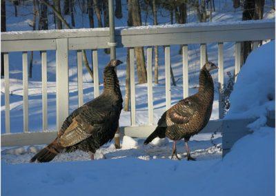 F-Turkeys6-DW