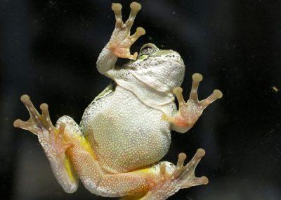 H-Tree-Frog2-DW