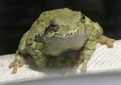 I-Tree-Frog5-DW
