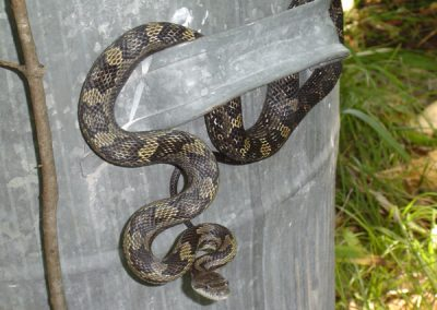 J-Lakewood-Snakes13-DW