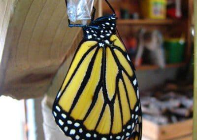 Z-Monarch8-Butterfly-Sep-2012-DW